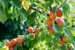 branch with ripe juicy apricots on tree