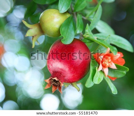 Branch with ripe pomegranate and pomegranate blossoms