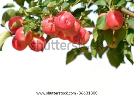 Branch with ripe red apples isolated on the white.
