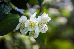Branch with white blooming apple flowers - spring floral background. Soft selective focus.