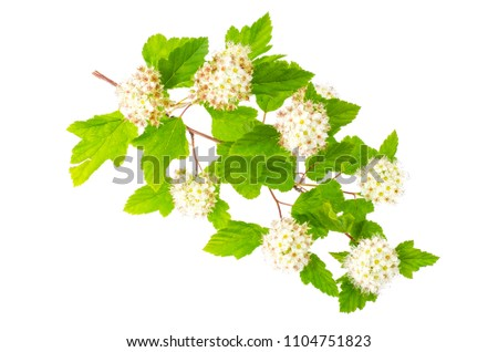 Branch with white flowers and green leaves Physocarpus opulifolius. Studio Photo #1104751823