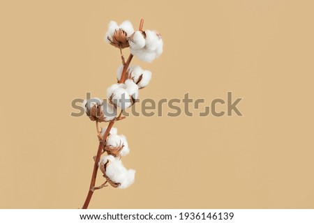 Branch with white fluffy cotton flowers on beige background flat lay. Delicate light beauty cotton background. Natural organic fiber, agriculture, cotton seeds, raw materials for making fabric