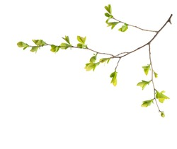 Branch with young green spring leaves isolated on white background.  Spiraea vanhouttei.