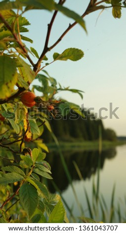 Branche with wild berries on the background of the lake. The berries of wild rose close-up, summer landscape. #1361043707