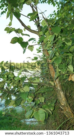 Branche wth foliage on the background of the lake. The foliage close-up, summer landscape. #1361043713