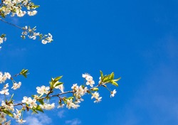 branches and flowers of cherry blossoms in spring against a blue sky with clouds. natural background. Copy space