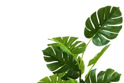 Branches and leaves of monstera on a white background. An isolated object. Copy of the space.