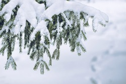 branches of a Christmas tree covered with snow natural spruce winter background with traces