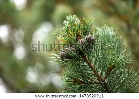Branches of a swiss stone pine with stone pine cones #1478520911