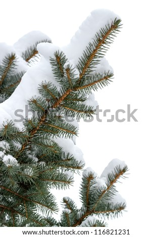 Branches of a winter spruce tree