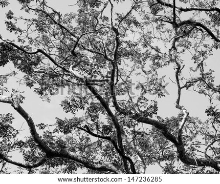 Branches of acacia trees on the background of the sky - Venezuela (black and white)