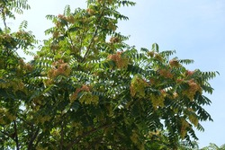 Branches of Ailanthus altissima with pinkish seeds against blue sky in August