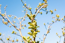 branches of apple trees with bourgeons and blue sky on background on sunny spring day (focus on fresh leaves in center on foreground)
