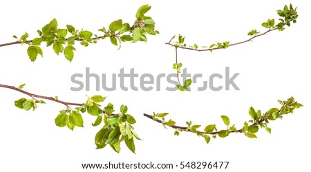 branches of apple trees with young leaves. isolated on white background