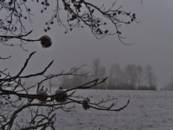 Branches of bare deciduous tree on the edge of a snow-covered meadow in winter season near Gruibingen, Swabian Alb, Germany on foggy day. Selective focus on branch in front.