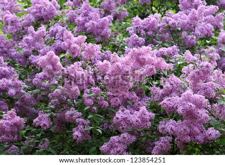 Branches of beautiful blossoming lilac