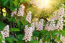 branches of blossoming chestnut tree with sun beams