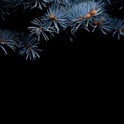 Branches of blue picea pungens 'Glauca Globosa' close up. Winter holiday Christmas concept, silver spruche on black background.
