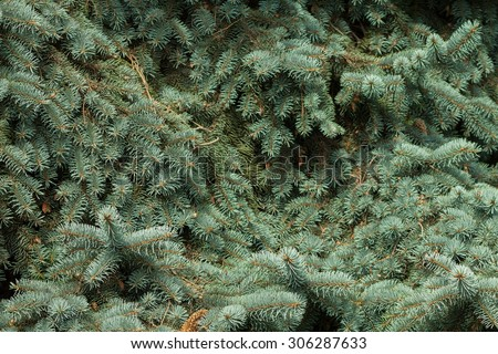 Branches of blue spruce close-up. Spruce needle. Conifer tree. Desktop Wallpaper.