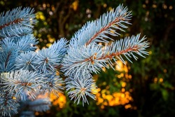 Branches of decorative blue spruce in the backyard.