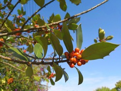 Branches of European holly (Ilex aquifolium, common holly, Christmas holly) with bright orange berries and green ornamental spiked leaves in background of blue sky. Autumn image of common holly
