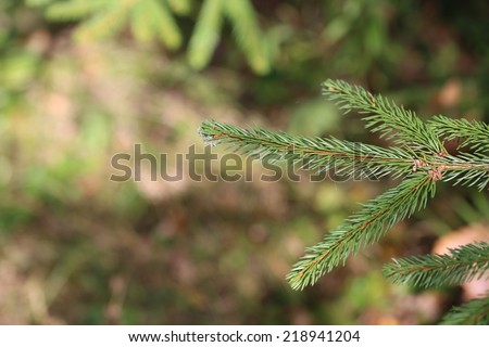 branches of fir tree forest