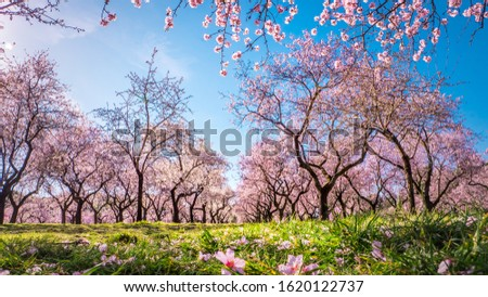 Branches of first blooming pink flowers in spring in the foreground with alleys of almond trees in bloom at Quinta de los Molinos city park downtown Madrid at Alcala street in early spring. Foto stock ©