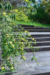 branches of jasmine shrub with yellow blooming flowers on stone steps background, dendrological park Sochi Russia, vertical outdoors stock photo image