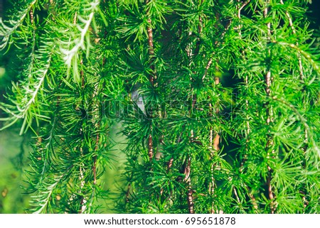 branches of needles tree close up, background concept #695651878