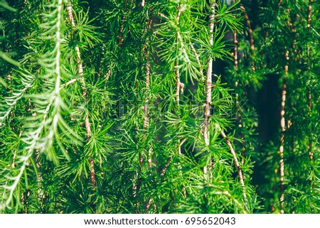 branches of needles tree close up, background concept #695652043