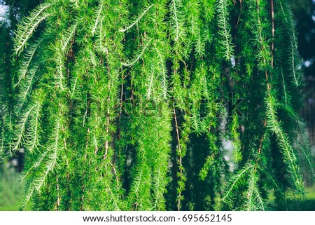 branches of needles tree close up, background concept #695652145