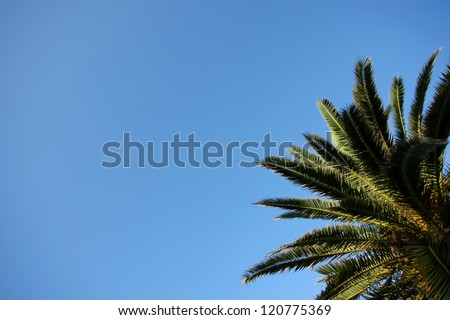 Branches of palm tree. The leaves and branches of dates palm with clear blue sky