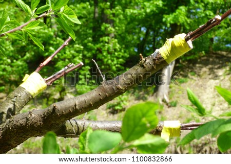 branches of pear with grafted cuttings #1100832866