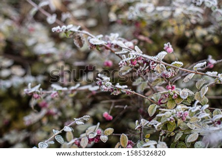 branches of plant with green leafs and red berries covered with frost, macro