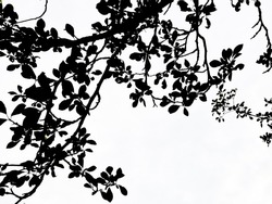 Branches of plum tree with foliage against the sky. Black and white photo.