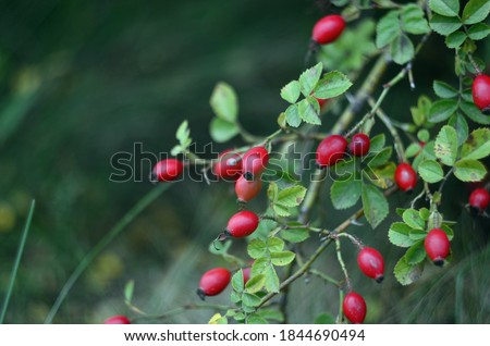 Branches of ripe rose hips in October Stock photo ©