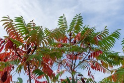 Branches of the Rhus typhina, also known as sumac with bright varicolored autumn leaves and fruits clusters on a background of the sky