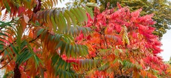 Branches of the Rhus typhina, also known as sumac with bright varicolored autumn leaves, panoramic view in selective focus