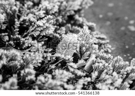branches of thuja and dry leaves in hoarfrost in winter, macro bw #541366138
