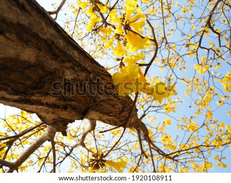 Branches of tree and beautiful yellow flower on sky background., Silver trumpet tree, Tree of gold, Paraguayan silver trumpet tree, Tabebuia aurea flowers. Stockfoto ©