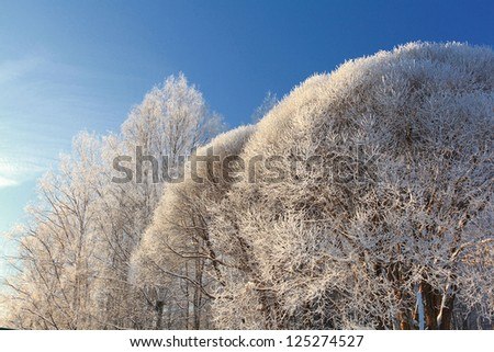 branches of trees and bushes covered with hoarfrost against the blue sky on a bright sunny day, winter