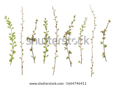 Branches Of Trees Isolated On White Background With Young Leaves. Early Spring Flowering Green Tree Branch Isolated On White. Spring Concept Foto d'archivio ©