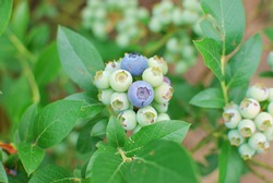 Branches of unripe blueberries on the bush.