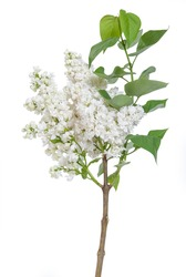 Branches of white lilac isolated on white background