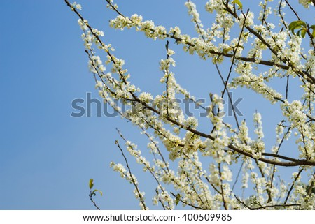 Branches of white plum flowers in spring ez canvas branches of white plum flowers in spring mightylinksfo