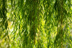 Branches of white willow (Salix alba) falling down. Detail willow. Branches of a white willow. Sunlight. Beautiful white willow. Salix alba.