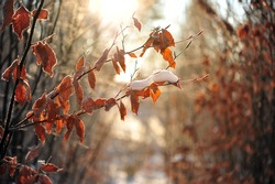 Branches with brown faded leaves with snow in golden sun light. Nature scene in January.