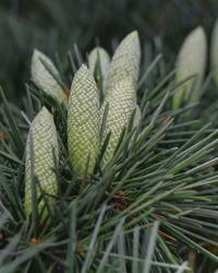 Branches with cones of Cedrus deodara. Deodar cedar or Himalayan cedar