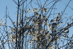 branches with dry lighning snowy flowers, abstract,  backlit concept