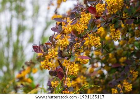 branches with flowers European barberry (Berberis vulgaris). Berberis vulgaris, also known as common barberry, European barberry or simply barberry. Yellow flower bush. Stock photo ©